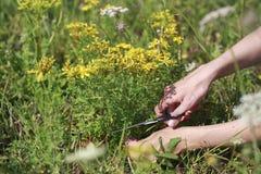 Piante medicinali Iperico Fotografia Stock Libera da Diritti