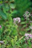 Piante medicinali origano Fotografia Stock Libera da Diritti