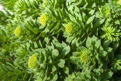 Piante medicinali Rosa di Rhodiola sviluppata nel giardino fotografia stock libera da diritti