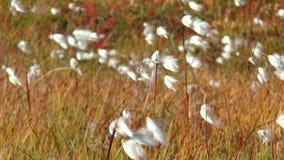 Piante nordiche lanuginose bianche che ondeggiano in un forte vento stock footage