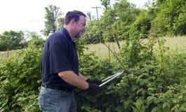 Piante organiche di Pruning His Raspberry dell'agricoltore Fotografia Stock Libera da Diritti