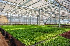 Piante ornamentali e fiori organici in serra o in serra idroponica moderna con il sistema di controllo di clima immagini stock libere da diritti