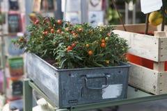 Piante ornamentali rosse e verdi del capsico Immagini Stock
