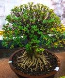Piante ornamentali in vasi con bello Immagini Stock
