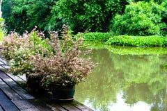 Piante porpora della foglia nella decorazione del vaso da fiori nel giardino Fotografie Stock Libere da Diritti
