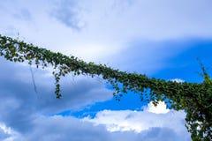 Piante rampicanti sulla linea elettrica sopraelevata Piante del rampicante che crescono sul cavo sopraelevato Fotografia Stock Libera da Diritti