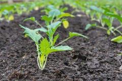 Piante recentemente piantate del cavolo rapa dalla fine Fotografia Stock Libera da Diritti
