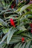 Piante rosse dello zenzero della torcia, alpinia purpurata Fotografia Stock