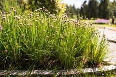 Piante selvatiche della erba cipollina in fiore Fotografia Stock Libera da Diritti