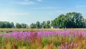 Piante selvatiche di fioritura esuberanti in un paesaggio olandese Fotografie Stock