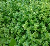 Piante selvatiche fresche Fotografie Stock Libere da Diritti