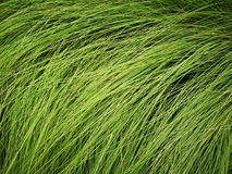 Piante sottili alte dell'erba lunga verde sul campo fotografie stock