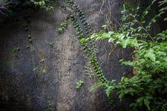 Piante striscianti sulla parete Fotografia Stock