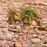 Piante su una parete di pietra Immagine Stock