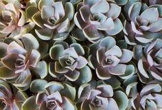 Piante succulenti Fotografie Stock