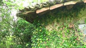 Piante sulla parete e sul tetto del tetto di vecchia casa stock footage