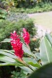 Piante tropicali del patio Zenzero rosso Alpinia purpurata Immagini Stock Libere da Diritti