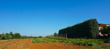 Piante in un campo coltivato degli agricoltori Fotografia Stock