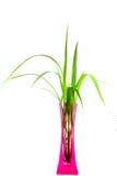 Piante in un vaso rosa isolato su backgroung bianco Fotografia Stock Libera da Diritti