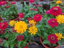Piante in vaso con il fiore giallo e rosso Immagine Stock