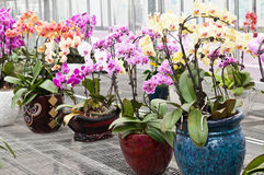 Piante in vaso dell'orchidea di farfalla fotografia stock libera da diritti