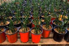Piante in vaso di bambù in piantatrice arancio Immagine Stock Libera da Diritti