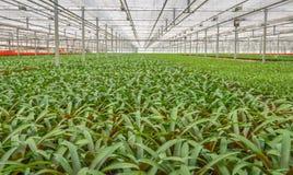 Piante in vaso in un affare di orticoltura della serra nel Nethe Immagine Stock Libera da Diritti