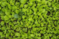 Piante vegeetable fresche a Hanoi Vietnam fotografia stock libera da diritti