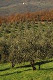 Piante verde oliva in Toscana Immagini Stock