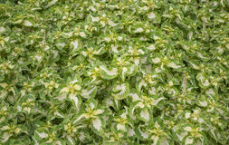 Piante verdi come priorità bassa Fotografie Stock
