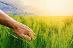 Piante verdi commoventi del grano dell'agricoltore nel campo coltivato Fotografie Stock