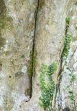 Piante verdi del rampicante sul tronco di albero Fotografie Stock