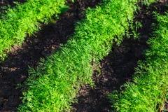 Piante verdi dell'aneto che crescono sul letto Immagine Stock