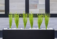 Piante verdi della decorazione dell'ufficio in un vaso rettangolare nero Immagine Stock