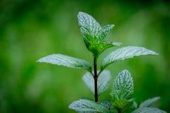Piante verdi della foglia della menta su fondo verde con le proprietà aromatiche di forti denti fotografia stock libera da diritti