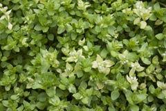 Piante verdi della primavera in un giardino Fotografie Stock Libere da Diritti