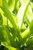 Piante verdi di alpinia galanga nel giardino della natura Immagine Stock Libera da Diritti