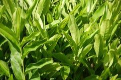 Piante verdi di alpinia galanga nel giardino della natura Immagini Stock