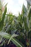 Piante verdi di cereale Fotografie Stock