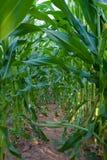 Piante verdi di cereale Fotografia Stock
