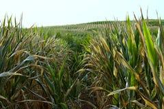 Piante verdi di cereale Immagini Stock