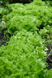 Piante verdi di lattuga Immagine Stock Libera da Diritti