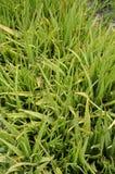 piante verdi di vera dell'aloe nel giardino della natura Fotografie Stock Libere da Diritti