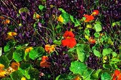 Piante verdi e porpora variopinte con i fiori arancio fotografia stock