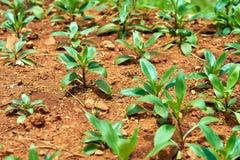 Piante verdi fresche della soia sul campo in primavera Immagini Stock Libere da Diritti