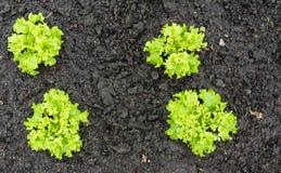Piante verdi ricce della lattuga di foglia nel suolo Fotografie Stock Libere da Diritti