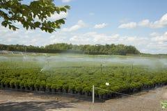 Pianti gli arbusti nursury che sono irrigati dal sistema automatico Immagini Stock