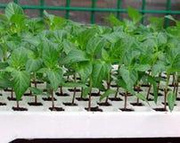 Pianti il pepe del semenzale Fotografie Stock Libere da Diritti
