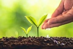 Pianti la crescita degli alberi di piantatura di semi, i semi stanno germinando sui suoli di buona qualità in natura immagine stock