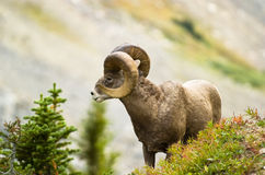Pianti le grandi pecore del corno Immagini Stock Libere da Diritti